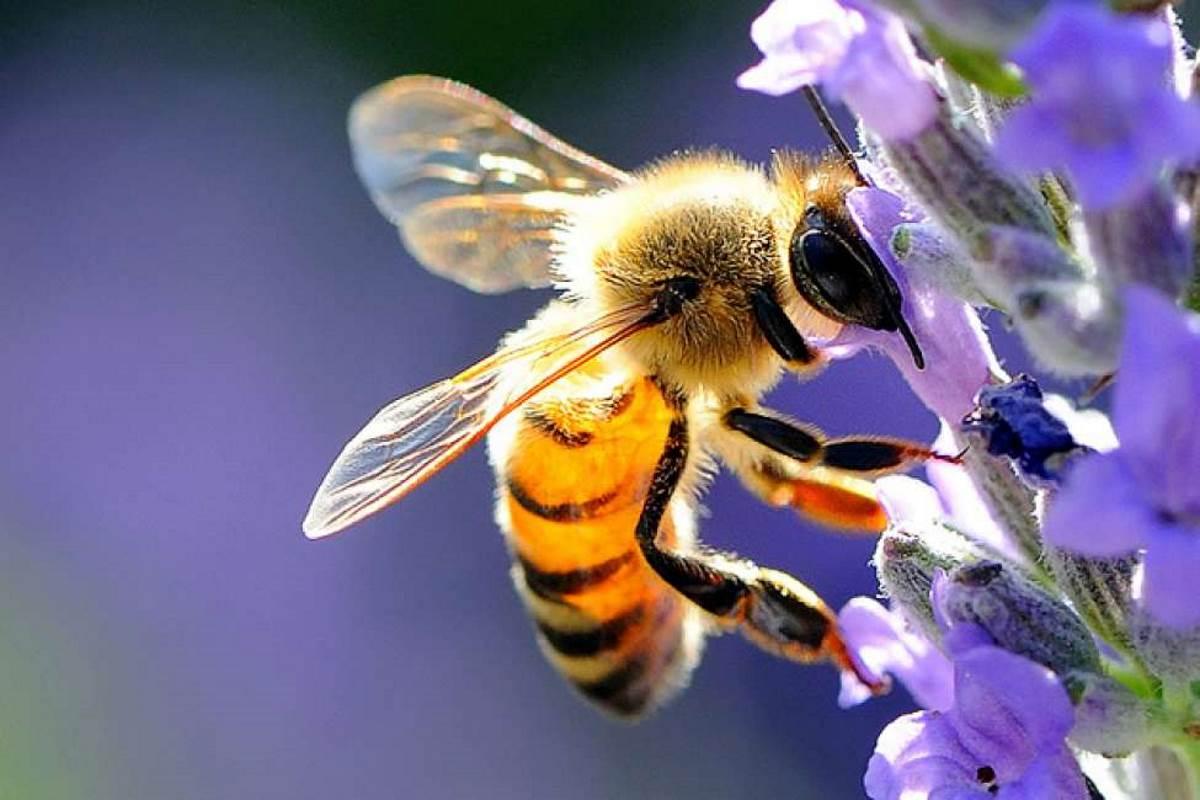 L'ape dichiarata l'essere vivente più importante del pianeta, ma rischia l'estinzione